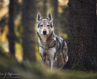 Wolfshund_TierfotografieNataschaHoffmann