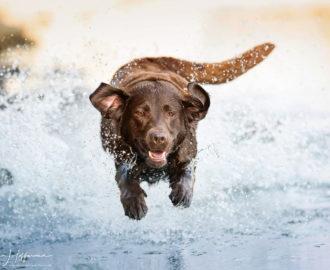 Labrador_Wasser