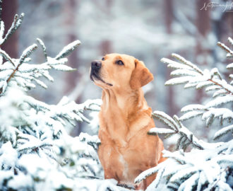 Winter Labrador